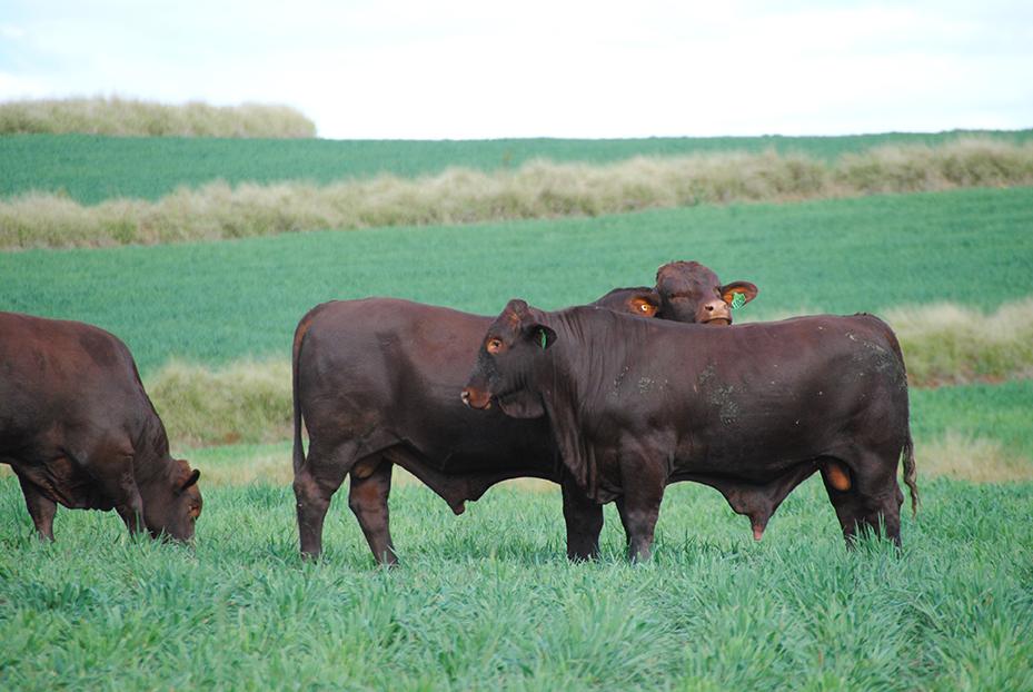 Bull Sale 2013